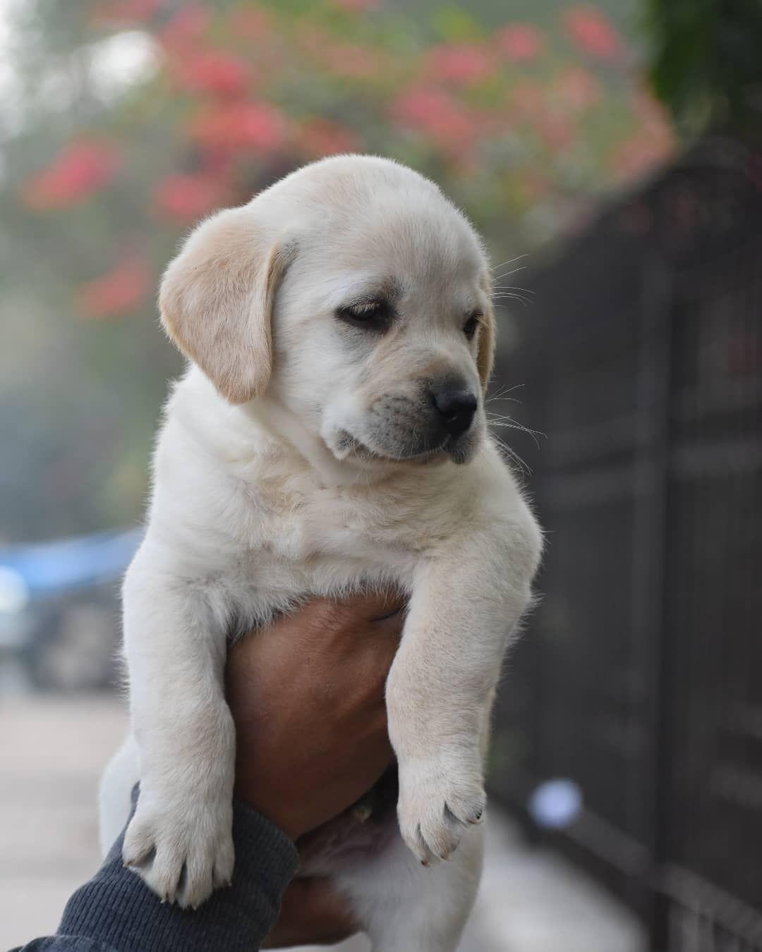Golden Labrador Puppy So Cute In 2020 Golden Labrador Puppies Labrador Puppy Labrador Puppies For Sale
