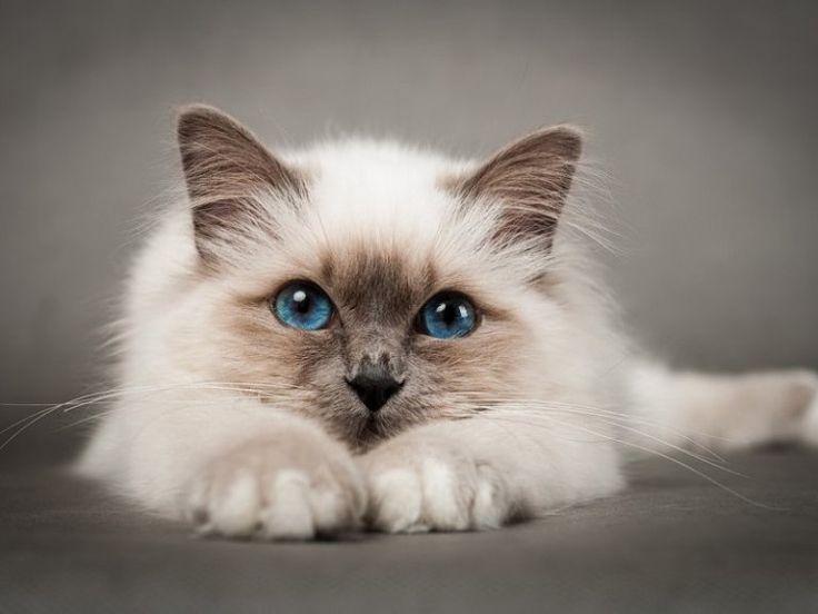 Photo of cat-blue-eyes-portrait-cute-pet-animal-paws-pelzigen-whisker…