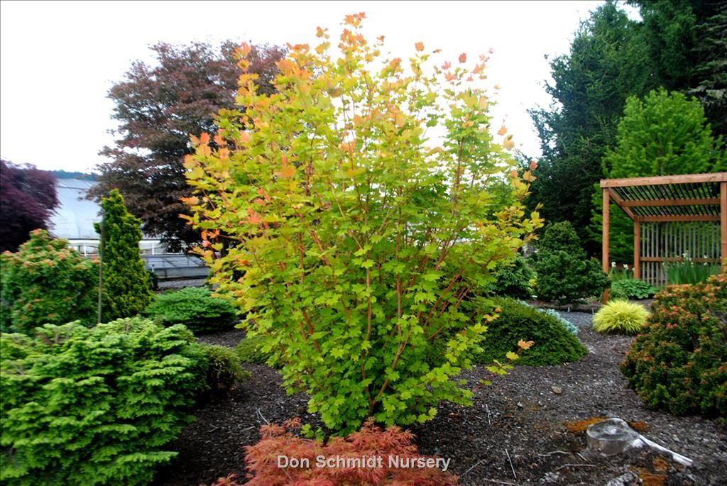 Acer Circinatum Pacific Fire Whole Nursery Supplies Plant Growers In Oregon
