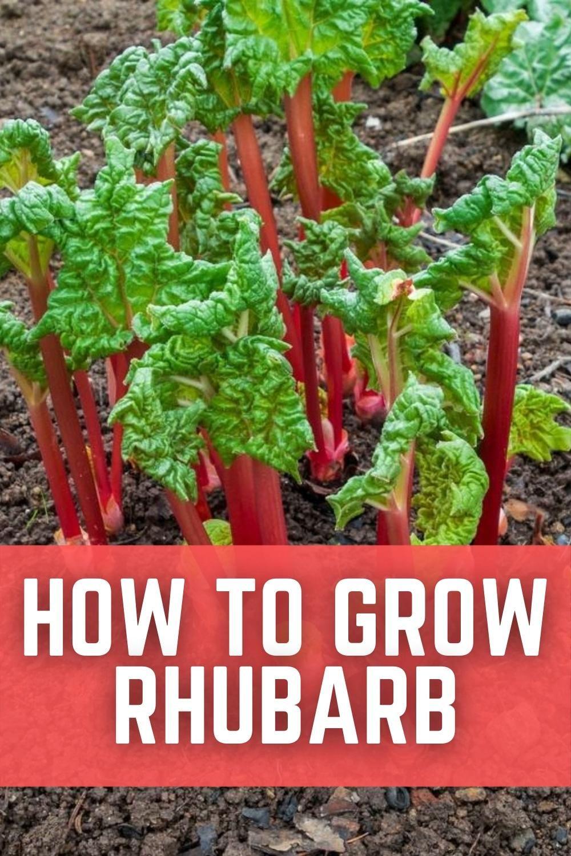 Photo of How To Grow Rhubarb