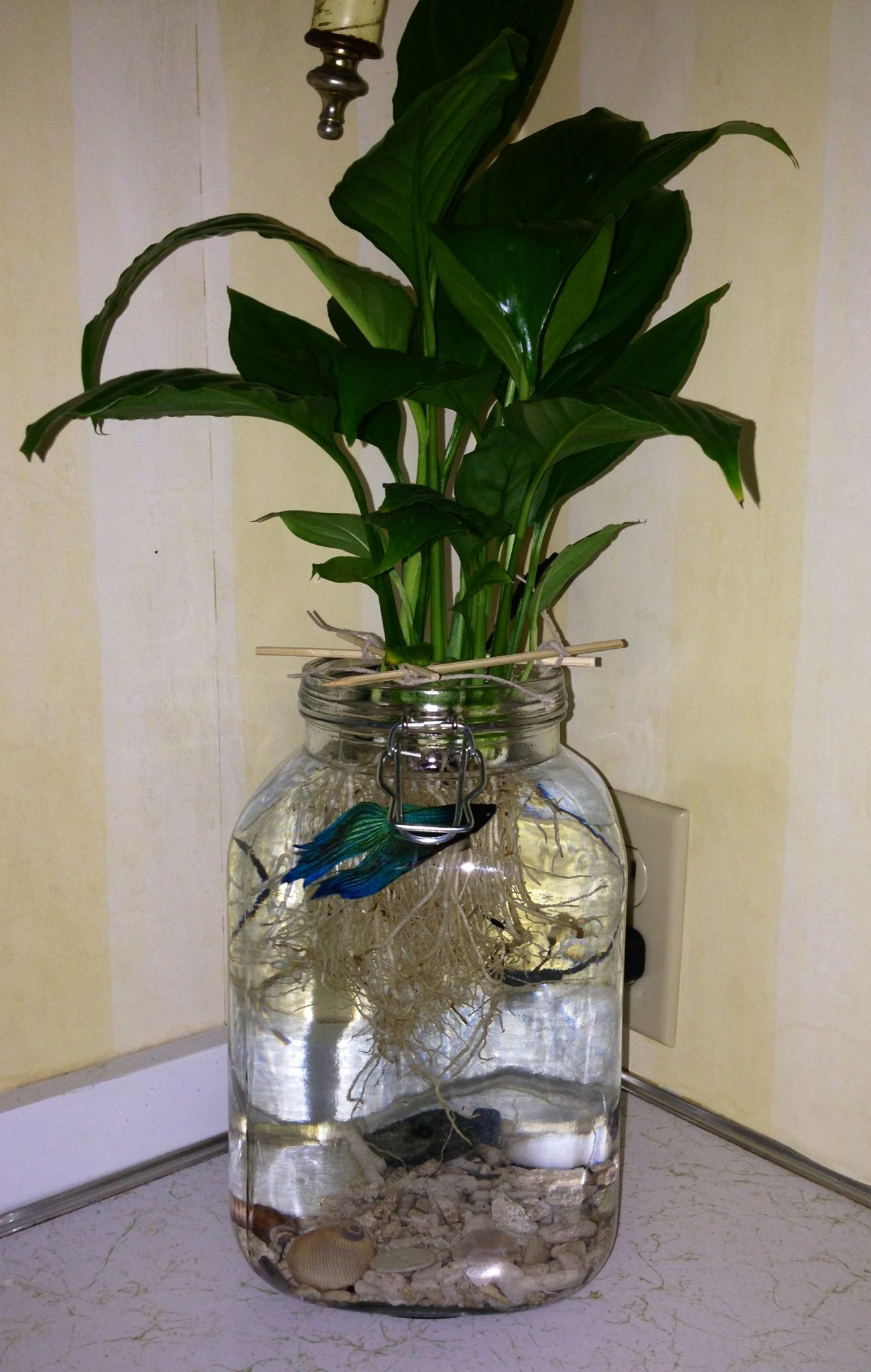 Betta fish with a peace lily in a simple jar betta fish for Plants for betta fish vase