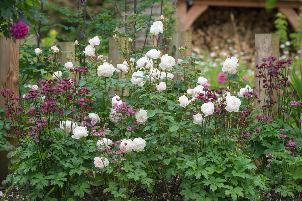 Desdemona Rose Review David Austin 2015 The Right Roses David Austin Roses Best Roses Shrub Roses