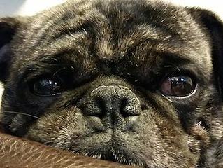 Maverick Pug Rescue Of Austin Adopt A Pug Pug Rescue Pugs For