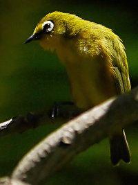 Mayotte White-eye.