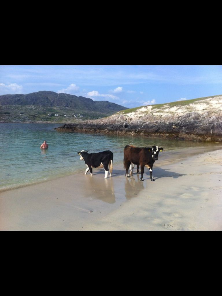 cows on a beach on the West of Ireland - c/o thejournal.ie