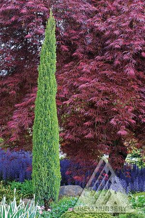 Reach For The Sky Conifers Garden Ornamental Trees Trees To Plant