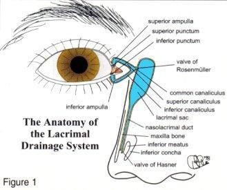 Anatomy of the lacrimal system