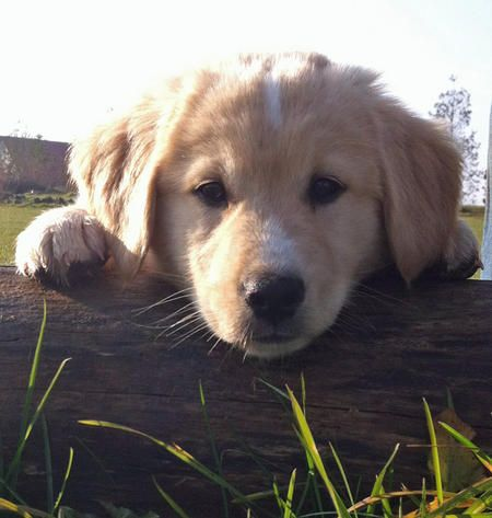 Henk The Golden Retriever Mix Peeping Over The Fence Puppy Breed