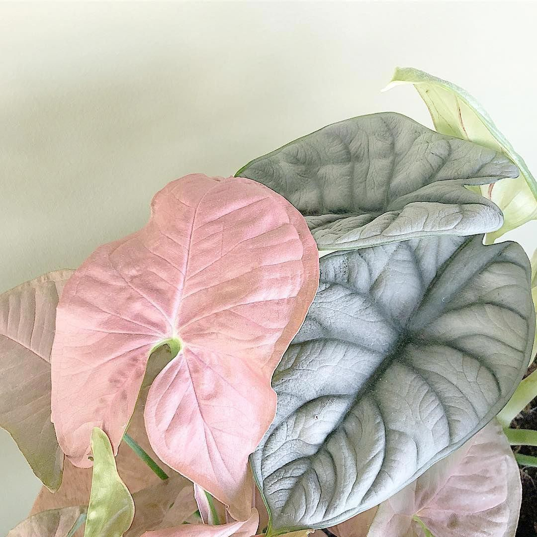 House Plants For Sale Houseplants House Plants Pink Plant