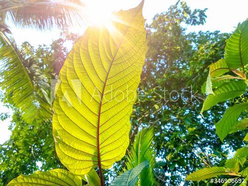Stock Image: Kratom leaves, speciosa leaf. Asia herbs