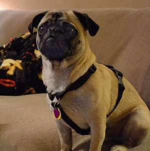 This Is Sweet Little Mike He Is On Sepra Southeastern Pug Rescue