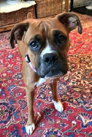 Adopt Roxy Ct On White Boxer Dogs Boxer Dogs Boxer Rescue
