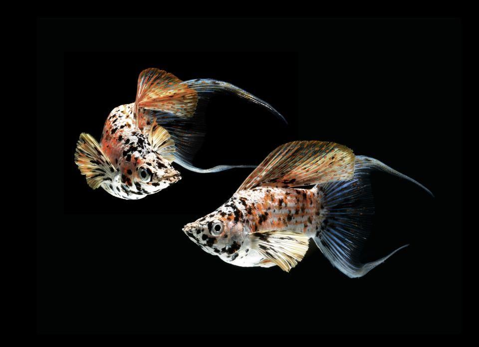 Lyretail Balloon Mollies Tropical Freshwater Fish Molly Fish Tropical Fish