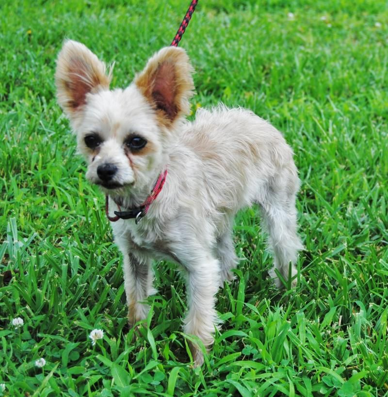 Meet Hannah A Petfinder Adoptable Yorkshire Terrier Yorkie Dog