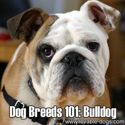 Dog Breeds 101 Bulldog Http Lovable Dogs Com Dog Breeds