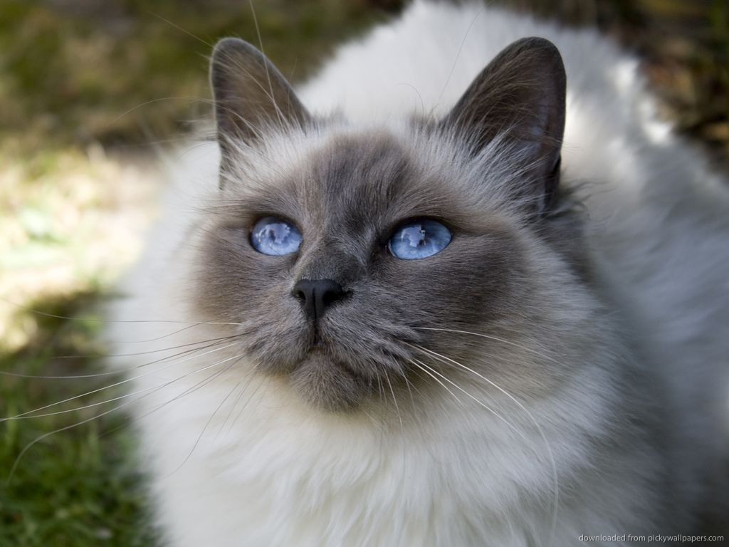 Cat With Blue Eyes Wallpaper Cat With Blue Eyes Gorgeous Cats Cats