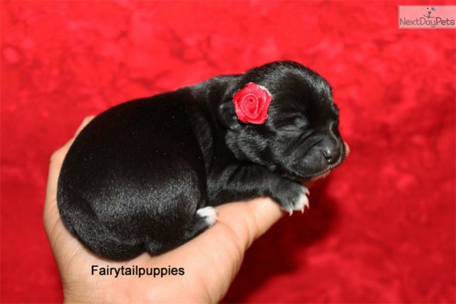 Chihuahua Puppy For Sale Near Mcallen Edinburg Texas 994a6b39
