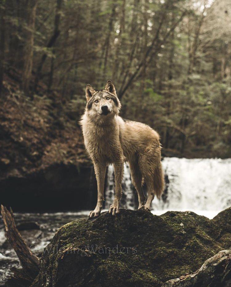 яркая, снимается картинки волчонок воет новом