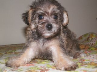 Barmor Kennels Toy And Mini Schnoodles Puppies For Sale Ny Sc Breeder Puppies For Sale Puppies Schnoodle