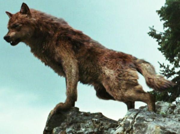 werewolves twilight - Google zoeken | weerwolven ... Werewolf Twilight Jacob