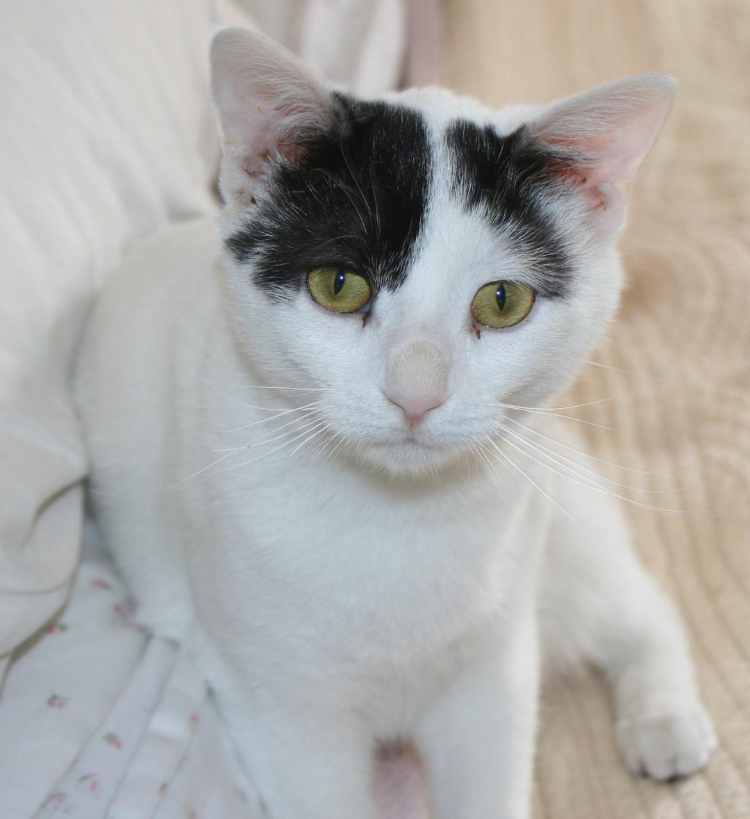 Adopt Dapple on Petfinder Animal rescue, Short hair cats