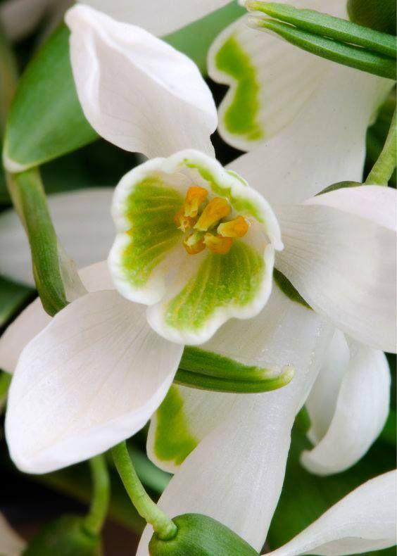 Galanthus Snowdrop Rasteniya Pervocvety Foto Cvetov