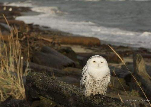 Snowy Owl in Qualicum Beach (Vancouver Island, BC) photo