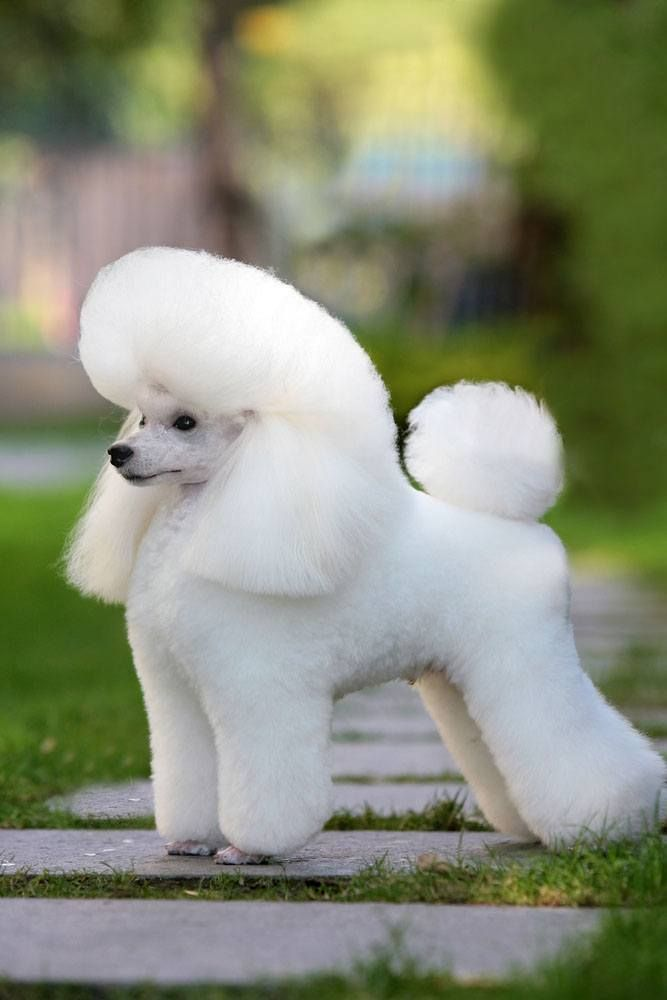 Repinned Poodle Puppy Show Trim Smartest Dog Breeds Pets