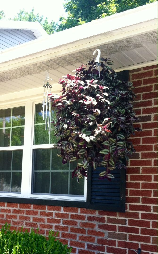 Take Care of a Wandering Jew Plant #wanderingjewplant Wandering Jews are beautiful plants known for their solid or variegated leaves. These hardy perennials thrive outdoors as groundcover or in pots which allow their tendrils to cascade. They are relatively easy to care for and incredibly... #wanderingjewplant Take Care of a Wandering Jew Plant #wanderingjewplant Wandering Jews are beautiful plants known for their solid or variegated leaves. These hardy perennials thrive outdoors as groundcover #wanderingjewplant