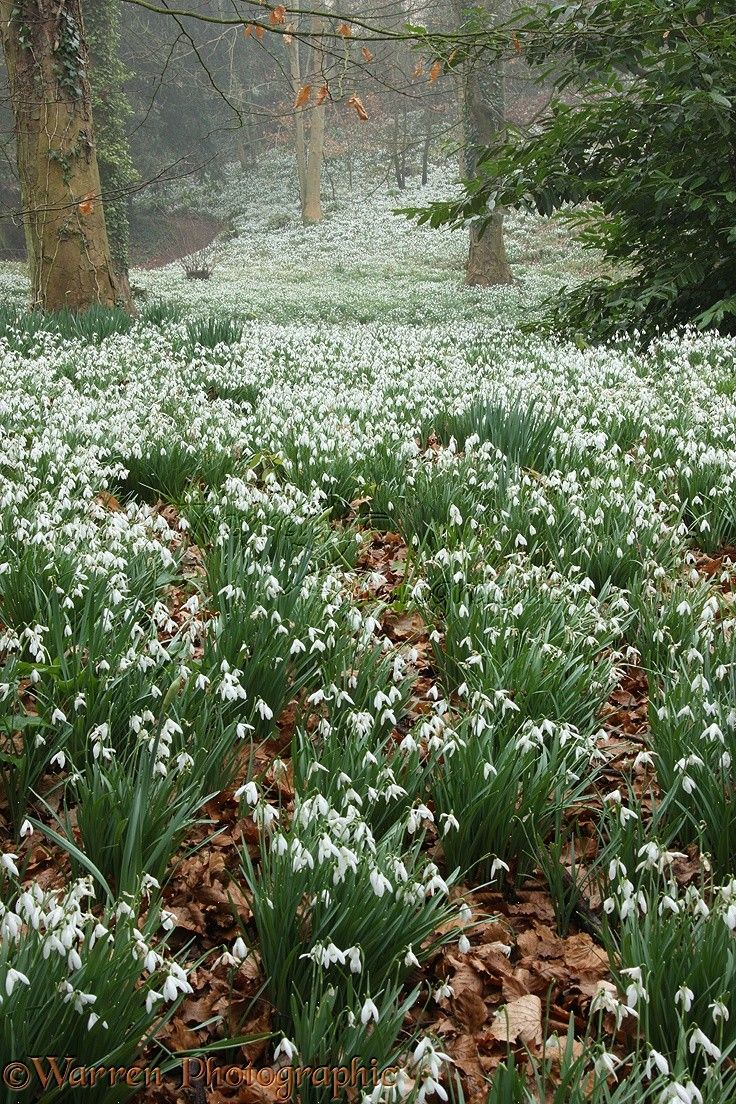 Woodland With Snowdrops Glaucestershire England Enchanting