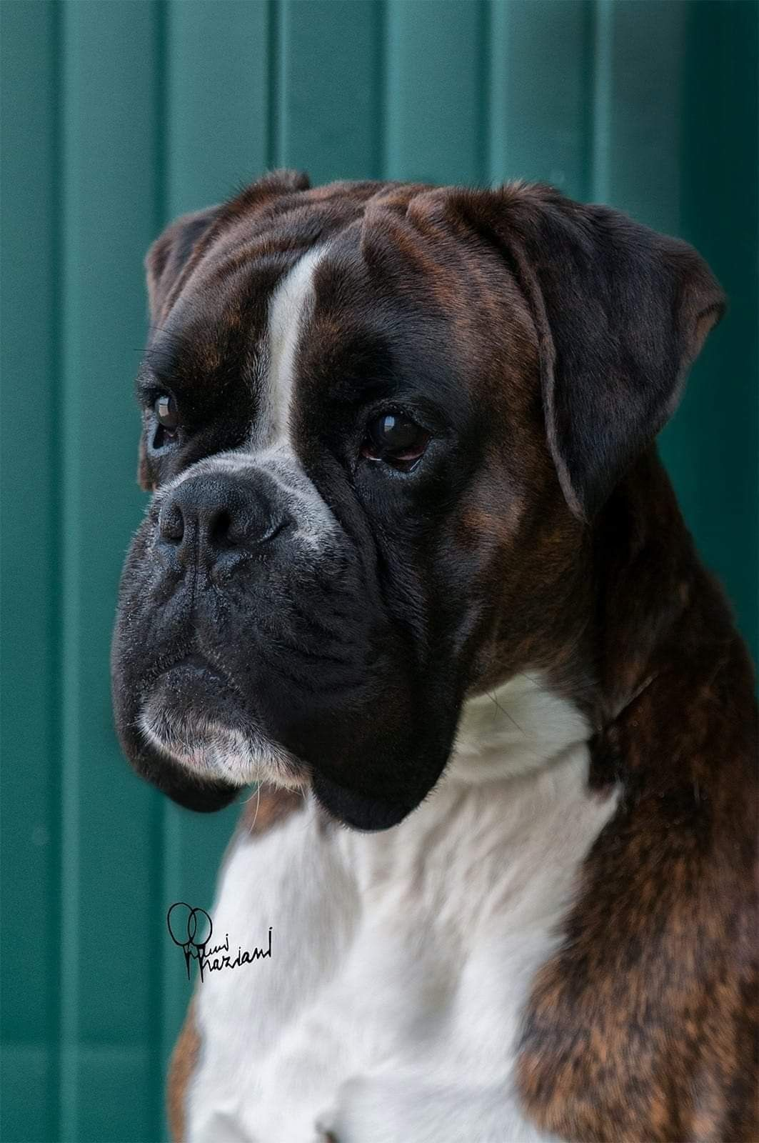 Pin By Diane Hand On Boxers Pups Boxer Dogs Funny Boxer Puppies Boxer Dogs