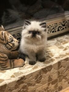Pin by Cat Lover on Cute Cats Persian kittens, Bengal
