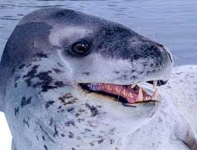 Dale Drinnon Leopard Seal Comparison Animales Marinos Foca Leopardo Animales