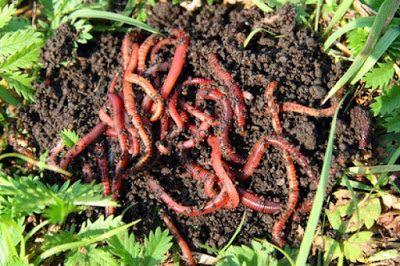 Cara Beternak Cacing Merah
