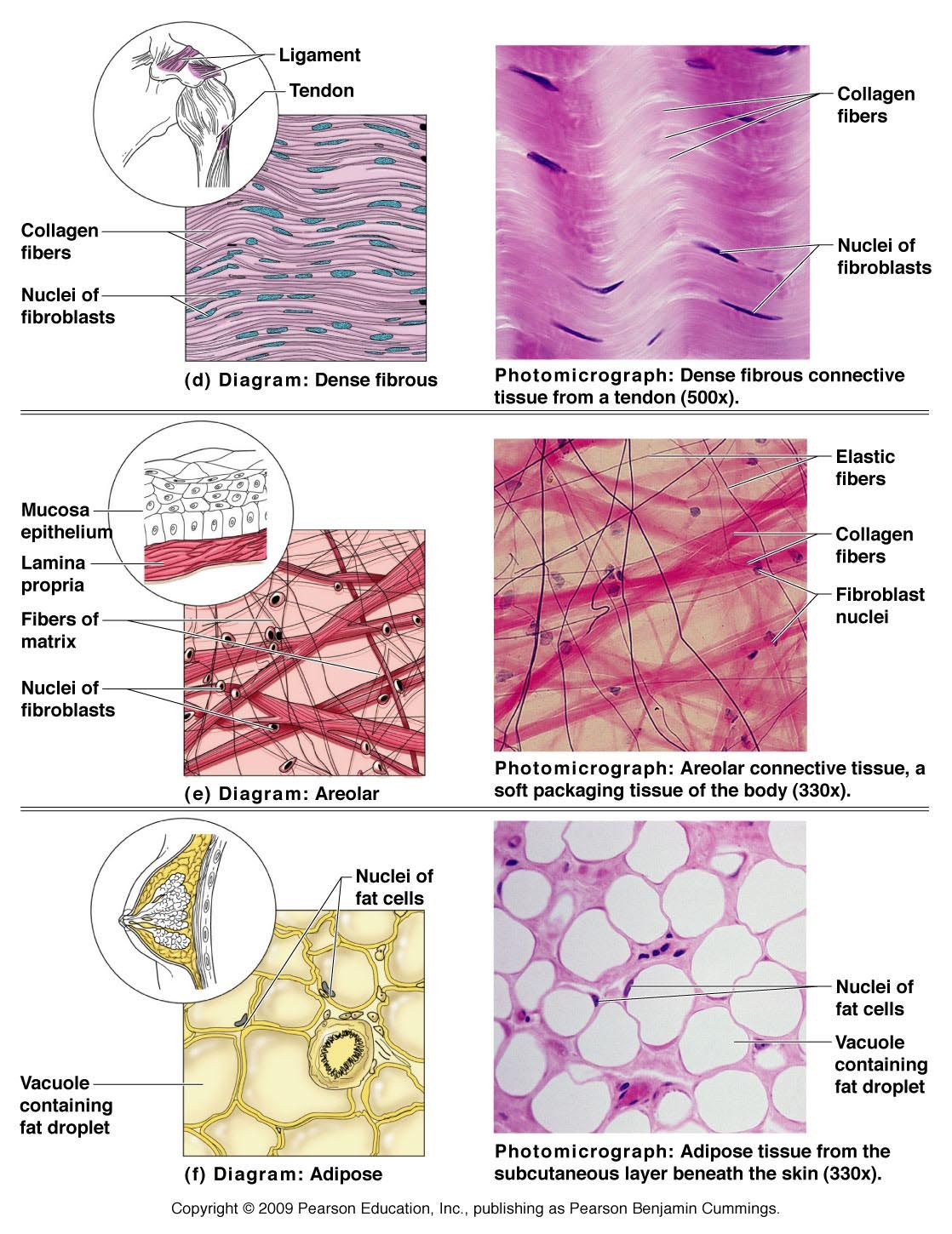 Types Of Connective Tissue In The Human Body