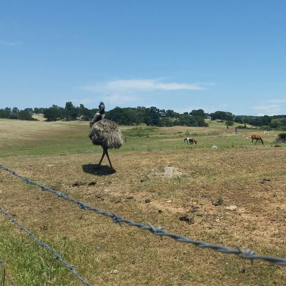 Flippin' emu wouldn't let me take a picture... #life #love #home #ChiarattiClan #Lincoln #countrylivin