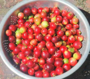 We've had a long hot summer and my Cherry Guava has never had such an abundant crop. Native to Brazil, the tree probably ended up in the back corner of my garden via a bird dropping, and it h…