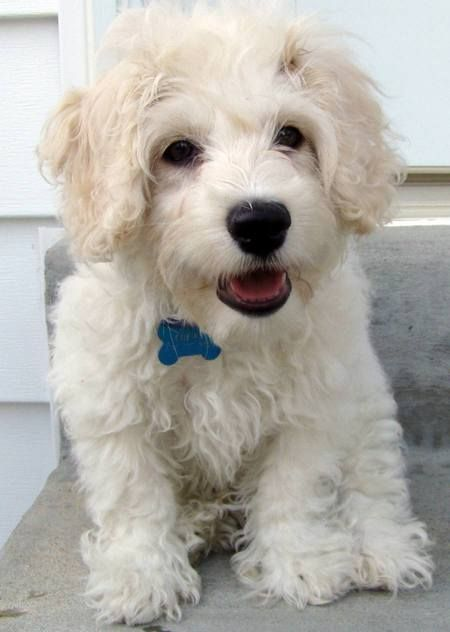 Image Result For Bichon Cocker Mix Puppies And Kitties Puppies
