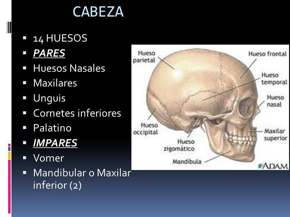 HUESOS DE LA CARA Anato iii. - ppt video online descargar   Huesos ...