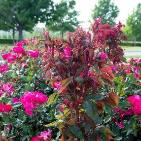 Rose Rosette Disease Neil Sperry S Notes Rosette Disease Knockout Roses Rose Diseases