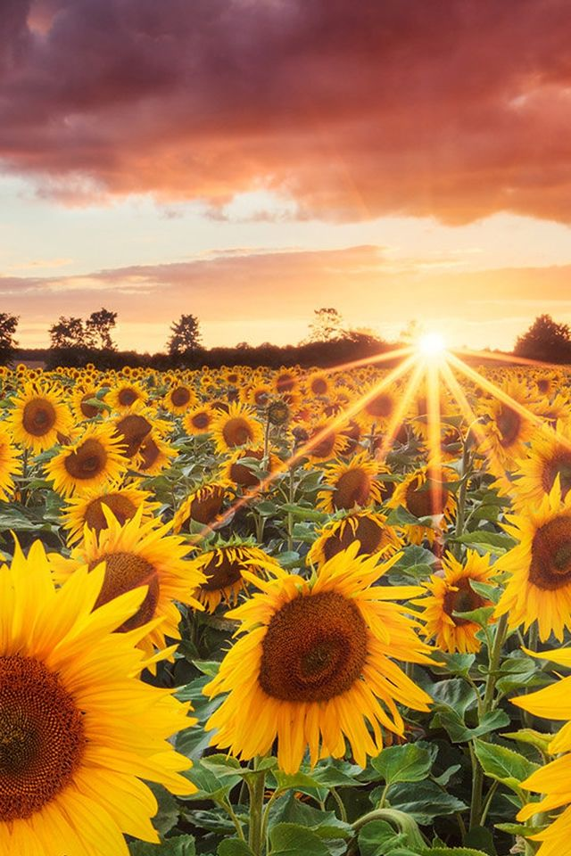 Splendid Sunflower Field Under Sunset IPhone 4s Wallpaper