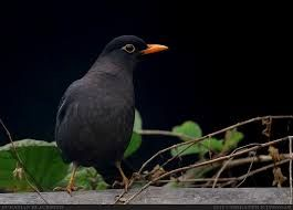 Image result for blackbirds