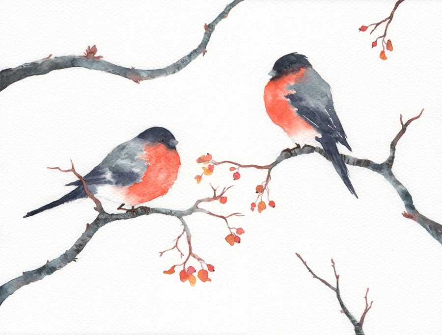 Bullfinches #illustration #watercolor #bullfinch #paola #cocchetto