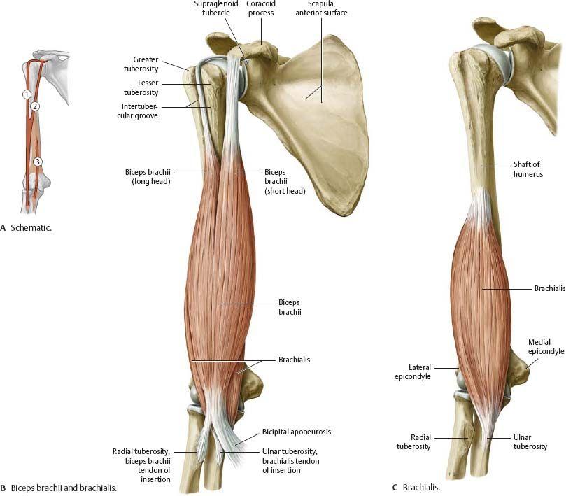 Biceps and brachialis | Anatomy - diagrams | Pinterest | Biceps