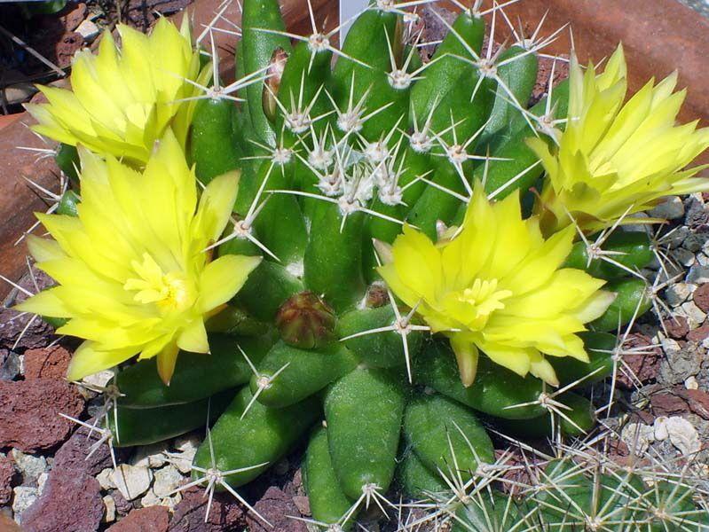NOME: MAMMILLARIA LONGIMAMMA La Mammillaria é originaria del #Messico.  I suoi fiori sono grandi e gialli. Fiorisce in estate  #mammillarialongimamma #mammillaria #giardino #instagram #succulents #instadaily #succulove #instacactus #succulent #cactacee #cactus #promocactus by cactus_e_fantasia