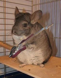 Chinchilla playing guitar