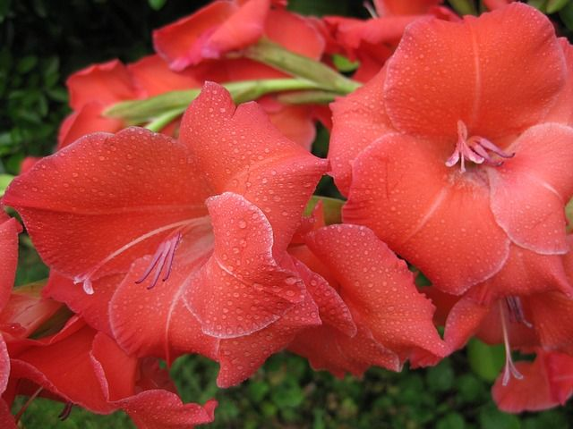 Keep Your Pets Away From These 14 Dangerous Plants Gladiolus Flower Flowers Plants