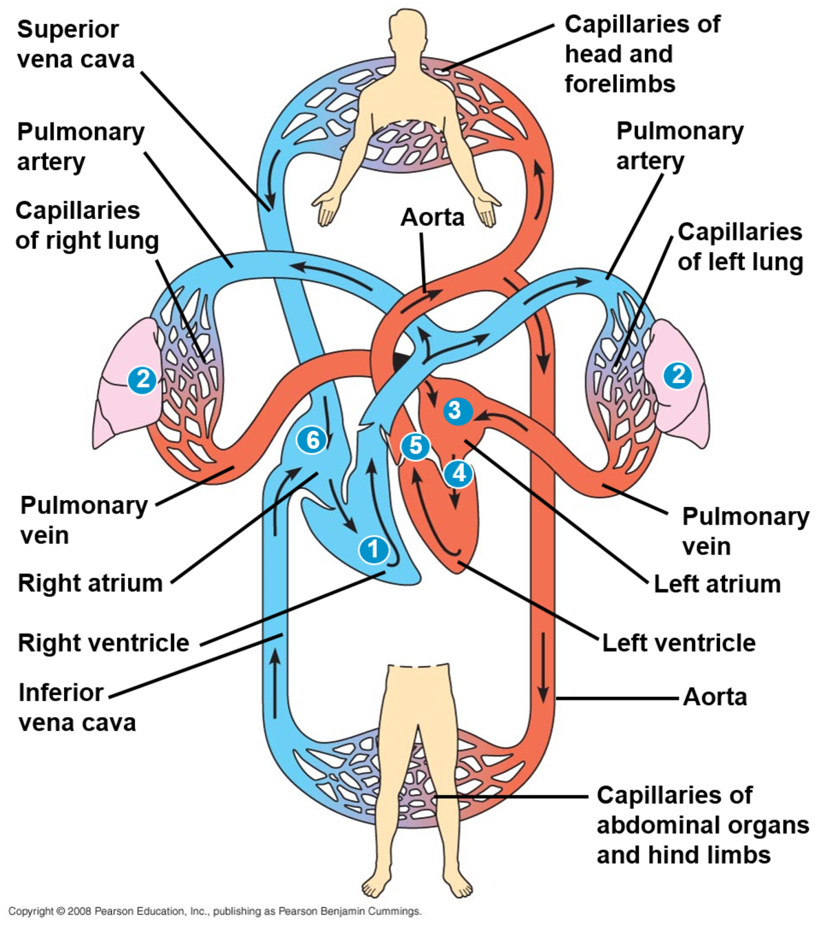 The Mammalian Circulatory System Differs From All Other