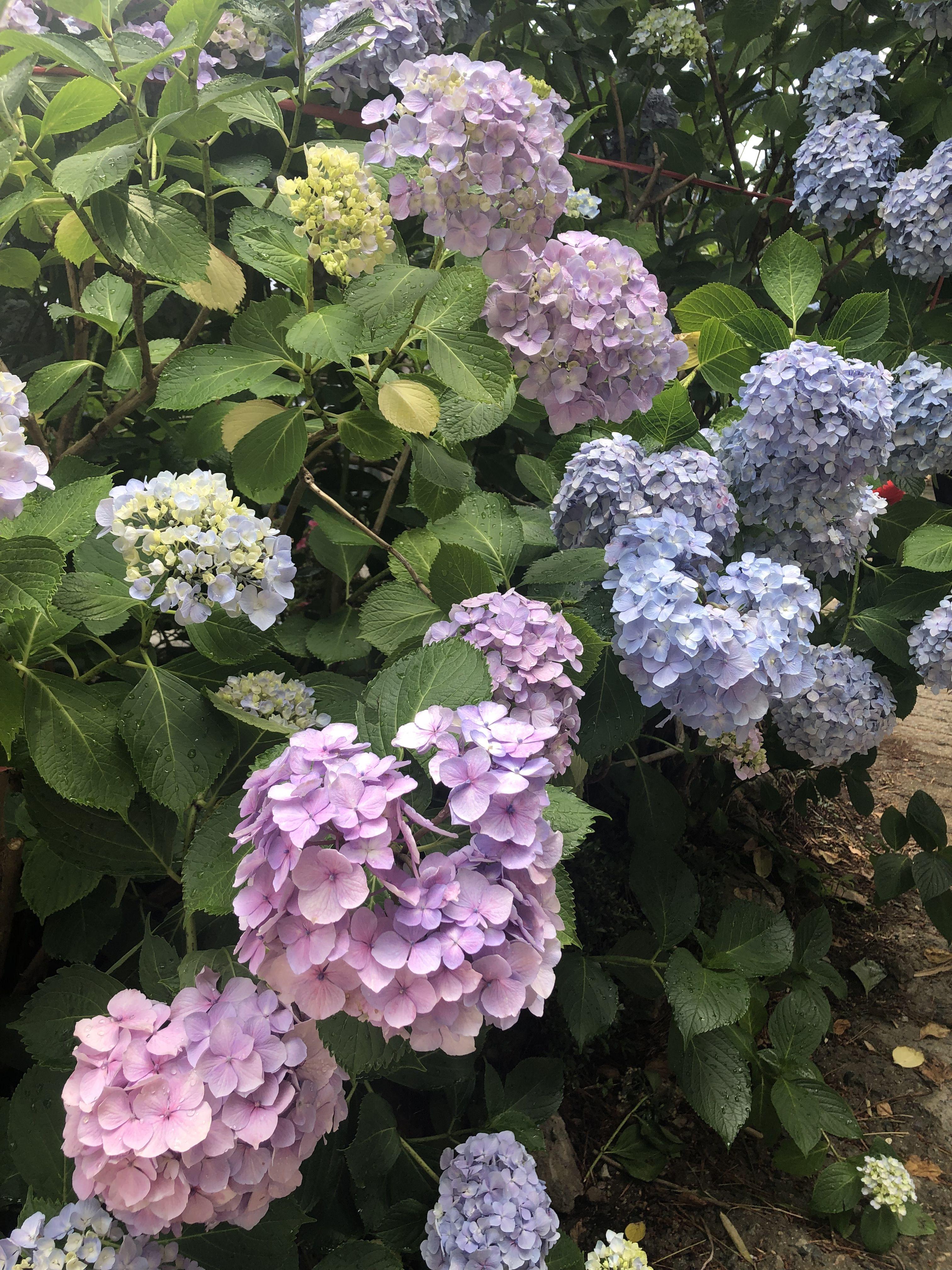 Pin By Brenda Shoemaker On 수국 Hydrangea Hydrangea Flowers Flower Power