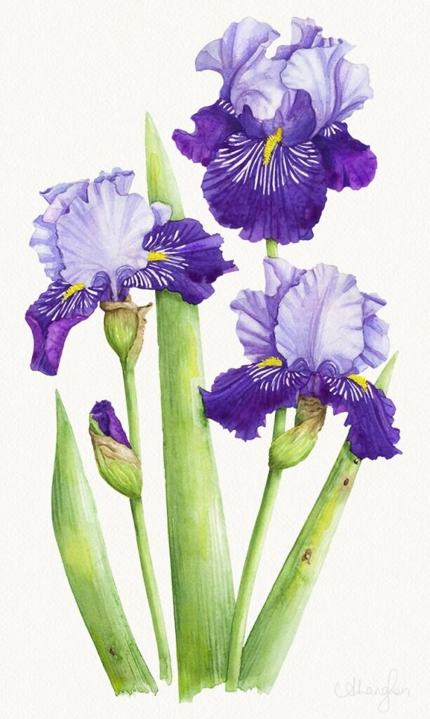 Line Drawing Of Iris Flower : Photoshop bearded iris allison langton pintura de